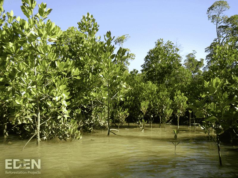 Haiti Mangrove pflanzen